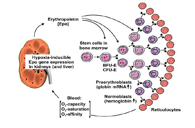 shortage of oxygen carrying red blood cells (RBC) causes Kidneys to release EPO, which sends a message to the bone marrow to produce new red blood cells.